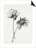 Helleborus niger Posters by Graham Stuart Thomas