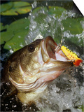 Largemouth Bass with Surface Lure Prints by Wally Eberhart