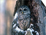 Barred Owl (Strix Varia) in a Hollow of a Maple Tree (Acer). North America Posters by Steve Maslowski