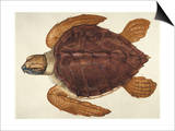 Loggerhead Turtle, 1585 Prints by John White