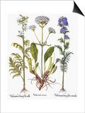 Valerian Flowers, 1613 Poster by Besler Basilius
