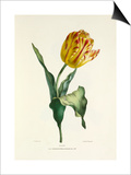 Tulip Posters by Charles Joseph Hullmandel