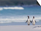 Magellanic Penguin Couple, Spheniscus Magellanicus, Falkland Islands Prints by Joe & Mary Ann McDonald
