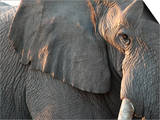 Close Up of Partial Face, African Elephant (Loxodonta Africana), Etosha National Park, Namibia Prints by Kim Walker