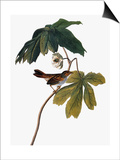 Audubon: Sparrow, 1827-38 Posters by John James Audubon