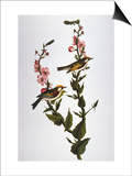 Audubon: Warbler Art by John James Audubon