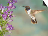 Black-Chinned Hummingbird (Archilochus Alexandri) Male Flying Prints by Jack Milchanowski