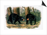 American Black Bear, 1844 Print by John James Audubon