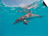 Atlantic Spotted Dolphin, Stenella Frontalis, Usa, Fl, Florida, Atlantic Ocean Prints by Reinhard Dirscherl