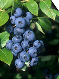 Blueberries, 'North Blue' Variety Prints by Wally Eberhart