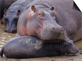 Hippopotamus, Hippopotamus Amphibius, Adult with its Young or Calf, Masai Mara, Kenya, Africa Prints by Joe McDonald