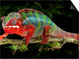 Panther Chameleon (Furcifer Pardalis), Captive Posters by Michael Kern