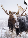 Bull Moose Covered in Snow Poster by Mike Cavaroc