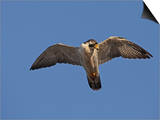 Peregrine Falcon Flying (Falco Peregrinus) Prints by Richard Ettlinger