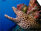 Black-Spotted Moray Gymnothorax Melanospilos Indian Ocean Prints by Reinhard Dirscherl