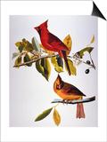 Audubon: Cardinal Posters by John James Audubon