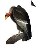 Audubon: Condor Prints by John James Audubon