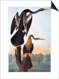 Audubon: Anhinga Posters by John James Audubon