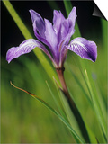 Long-Tube Iris Flower, Iris Macrosiphon, California, USA Prints by Gerald & Buff Corsi