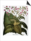 Botany: Tobacco Plant Posters by Besler Basilius