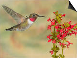 Broad-Tailed Hummingbird (Selasphorus Platycercus) Male Flying at Texas Betony (Stachys Coccinea) Posters by Jack Milchanowski