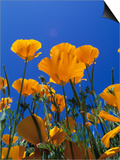 California Poppy, Eschscholtzia Californica Prints by Adam Jones