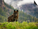 Canyon Pack Alpha Female Wolf of 2009 Print by Mike Cavaroc