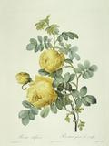 Rosa Sulfurea Prints by Pierre-Joseph Redouté