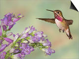 Calliope Hummingbird (Stellula Calliope) Male Flying Prints by Jack Milchanowski