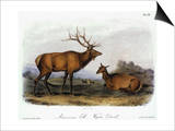 American Elk, 1846 Posters by John James Audubon