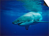 Great White Shark, Carcharodon Carcharias, Mexico, Pacific Ocean, Guadalupe Posters by Reinhard Dirscherl