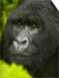 Young Male Mountain Gorilla Face, Gorilla Gorilla Beringei, in Volcanoes National Park, Rwanda Posters by Joe McDonald
