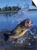 Largemouth Bass Surfacing with a Lure in its Mouth Art by Wally Eberhart