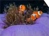 Magnificent Anemone with Clown Anemonefish and Commensal Shrimps..Shot in Indonesia Posters by Jeff Yonover