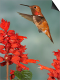Broad-Tailed Hummingbird (Selasphorus Platycercus) Male Flying Print by Jack Milchanowski