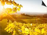 Healdsberg, Sonoma County, California: Sunset on Northern California Vineyards. Arte por Ian Shive