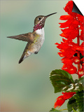 Calliope Hummingbird (Stellula Calliope) Male Flying Poster by Jack Milchanowski