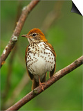 Wood Thrush, Hylocichla Mustelina, Eastern North America Print by Adam Jones