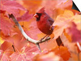 Male Northern Cardinal (Cardinalis Cardinalis) in a Fall Maple Tree (Acer), Eastern USA Prints by Steve Maslowski