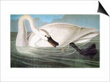 Audubon: Trumpeter Swan Prints by John James Audubon