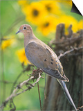 Mourning Dove Sitting on a Barbed Wire Fence (Zenaida Macroura), North America Posters by Steve Maslowski