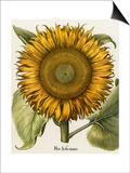 Sunflower Art by Besler Basilius