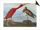 Audubon: Scarlet Ibis Prints by John James Audubon