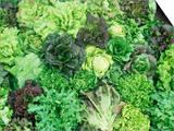 Heirloom Lettuce Varieties Art by David Cavagnaro