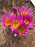 Whipple's Fishhook Cactus (Sclerocactus Whipplei), Capitol Reef National Park, Utah, USA Prints by Gerald & Buff Corsi