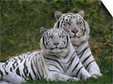 White Bengal Tigers, Panthera Tigris, Asia Art by Adam Jones