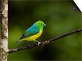 A Male Blue-Naped Chlorophonia (Chlorophonia Cyanea) in Brazil's Atlantic Rainforest Posters by Neil Losin