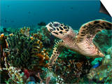 Hawksbill Turtle Foraging on Sponges and Soft Corals...Shot in Indonesia Prints by Jeff Yonover