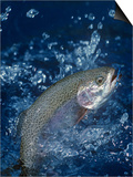 Rainbow Trout Prints by Wally Eberhart