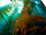 Chanthe View Underwater Off Anacapa Island of a Kelp Forest. Prints by Ian Shive